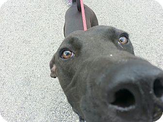 Great Dane/Schipperke Mix Dog for adoption in Baden, Pennsylvania - Max