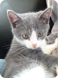 Domestic Shorthair Kitten for adoption in Sparta, New Jersey - Howie