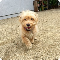 Adopt A Pet :: Iggy - North Hollywood, CA