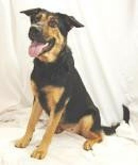 German Shepherd Dog Mix Dog for adoption in Jackson, Mississippi - Chelsea