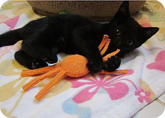 Domestic Shorthair Kitten for adoption in Medfield, Massachusetts - Thyme