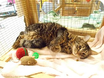 Domestic Shorthair Cat for adoption in Floral City, Florida - Elaine