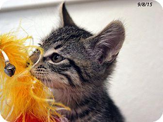 Domestic Shorthair Kitten for adoption in Republic, Washington - Rhinoceros