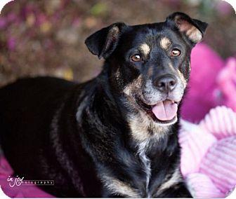 Rottweiler/Corgi Mix Dog for adoption in Pasadena, California - Baxter**Video