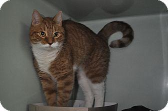 Domestic Shorthair Cat for adoption in Rockaway, New Jersey - Comet
