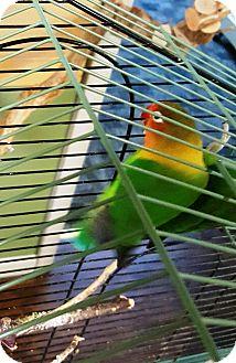 Lovebird for adoption in Lenexa, Kansas - Shirley