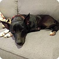 Adopt A Pet :: Boots - San Antonio, TX