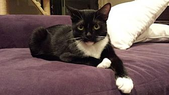 American Shorthair Cat for adoption in Santa Monica, California - Bootsy