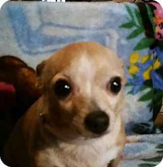 Chihuahua Dog for adoption in Houston, Texas - CHIQUITA