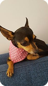 Miniature Pinscher/Chihuahua Mix Dog for adoption in Los Angeles, California - Mimi  4 lbs.