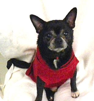 Chihuahua Mix Dog for adoption in Irwin, Pennsylvania - Nino