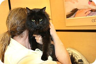 Domestic Mediumhair Cat for adoption in Rochester, Minnesota - Xico