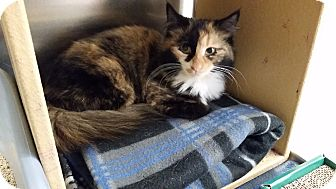 Domestic Longhair Kitten for adoption in East Hartford, Connecticut - Mulan (in CT)