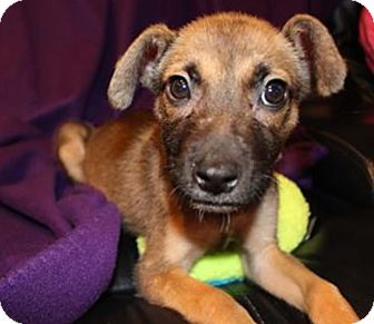 German Shepherd Dog Mix Puppy for adoption in Island Park, New York - Penny