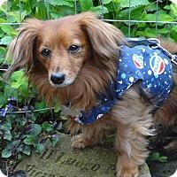 Adopt A Pet :: LESTER - Portland, OR