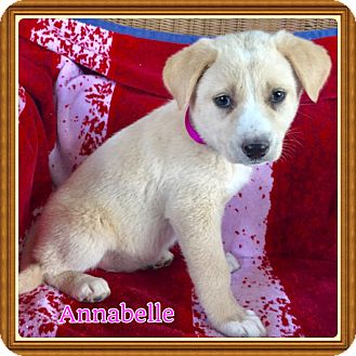 Shepherd (Unknown Type)/Labrador Retriever Mix Puppy for adoption in Harrisburg, Pennsylvania - Annabelle