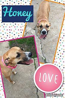 Great Dane Dog for adoption in Unionville, Virginia - Honey