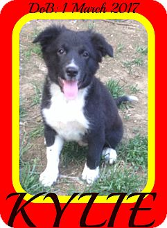 Border Collie Mix Puppy for adoption in Halifax, Nova Scotia - KYLIE