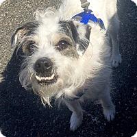 Adopt A Pet :: Cookie - Marina del Rey, CA