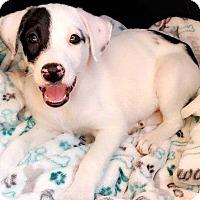 Adopt A Pet :: Lilly - Allen, TX
