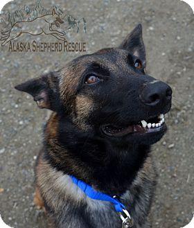 Belgian Malinois Dog for adoption in Anchorage, Alaska - Luc