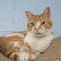 Adopt A Pet :: Beefy - Munster, IN