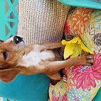 Adopt A Pet :: Brea - Scottsboro, AL