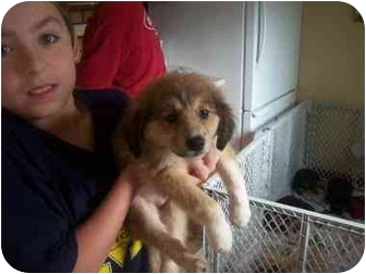 Australian Shepherd/Labrador Retriever Mix Puppy for adoption in Wauseon, Ohio - Ellie