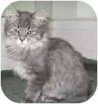 Maine Coon Kitten for adoption in Davis, California - Zeke