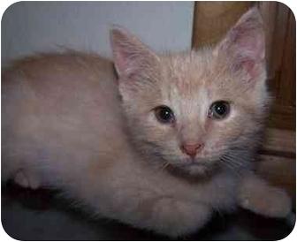 Domestic Shorthair Kitten for adoption in Sheboygan, Wisconsin - Samson