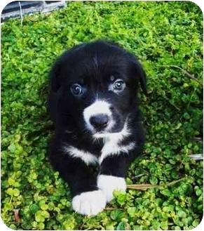 Border Collie/Newfoundland Mix Puppy for adoption in Santa ana, California - PIXIE