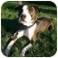 Photo 1 - American Pit Bull Terrier/Labrador Retriever Mix Dog for adoption in Auburn, California - Cruiser