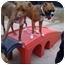 Photo 2 - Labrador Retriever/Australian Shepherd Mix Dog for adoption in Peoria, Illinois - Superman
