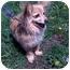 Photo 2 - Papillon/Dachshund Mix Dog for adoption in Palatine, Illinois - EMMA