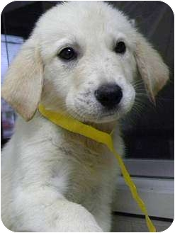 Golden Retriever/Great Pyrenees Mix Puppy for adoption in Knoxville, Tennessee - Jeter