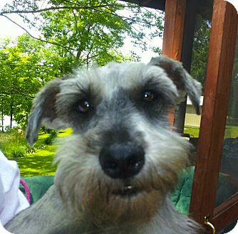 Schnauzer (Standard) Mix Dog for adoption in North Benton, Ohio - Sammy