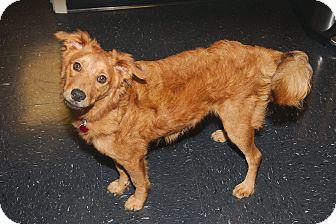 Spitz (Unknown Type, Small)/Spitz (Unknown Type, Small) Mix Dog for adoption in Houston, Texas - Knik