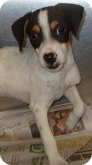 Jack Russell Terrier Mix Puppy for adoption in Dover, Delaware - Biscuit