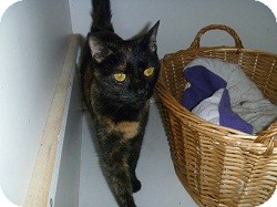 Domestic Shorthair Cat for adoption in Hamburg, New York - TT