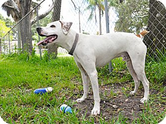 Boxer Mix Dog for adoption in Bradenton, Florida - Petey Boy