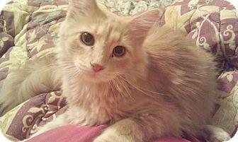 Domestic Mediumhair Cat for adoption in Fairbury, Nebraska - Valentino