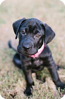 Shar Pei Mix Puppy for adoption in Marietta, Georgia - Abbie