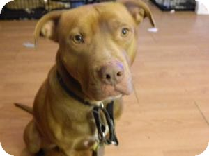 American Pit Bull Terrier Mix Dog for adoption in Dayton, Ohio - Hot Rod Harry