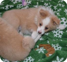 Australian Shepherd Puppy for adoption in Overland Park, Kansas - JAZZY
