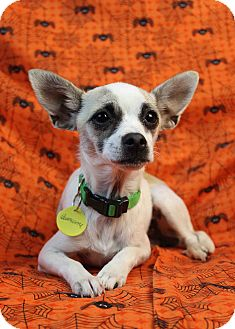 Chihuahua Mix Puppy for adoption in Westminster, Colorado - Mindie
