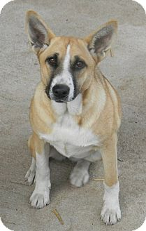 Corgi Mix Puppy for adoption in Normandy, Tennessee - Lil Bit