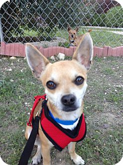 Chihuahua Mix Dog for adoption in Kempner, Texas - Quinn