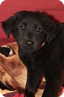 Chow Chow/Labrador Retriever Mix Puppy for adoption in Waldorf, Maryland - Chilli