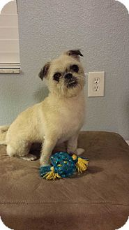 Brussels Griffon/Pug Mix Dog for adoption in Oviedo, Florida - Sadie
