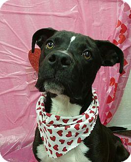 Labrador Retriever/Pit Bull Terrier Mix Puppy for adoption in Savannah, Georgia - Linus